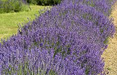 Compacta Very similar to (and we think better than) 'Munstead', with larger steely-purple flowers and distinctly-shaped grey foliage. Leaves seem to clasp the stems. Height 55cm (22in). Introduced from the USA in 1901. (Very hardy lavender angustifolia) EG