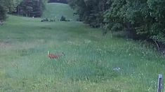 Deer comes to the rescue of a rabbit which is being attacked by a hawk Rescue Rabbit, Wild Ones, Deer, Mail Online, Daily Mail, Animals, Animales, Animaux, Animal