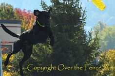 Black Labrador Dock Dogs Photography Color Wall by overthefenceart, $4.00