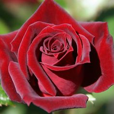 Black Jade™. One of the finest red miniature rose. Its flowers are closest to black of any miniature rose. Perfectly formed blooms of a velvety black-red color on a medium sized bushy plant with dark-green foliage. Repeat bloom