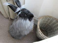 Mossy, English Smoke Angora Rabbit
