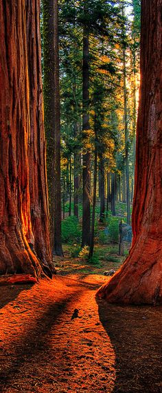 Chemin Sequoia | Grant Grove de séquoias géants à Kings Canyon National Park, Californie, Etats-Unis |