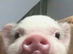 Cute Animal Pictures: 150 Of The Cutest Animals! Baby Animals Pictures, Cute Animal Photos, Animals And Pets, Farm Animals, Baby Pictures, Strange Animals, Cute Baby Pigs, Cute Piglets, Baby Piglets