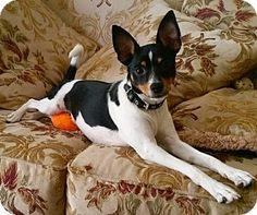 Ft Myers Beach, FL - Rat Terrier. Meet Puppy all the Way!!, a dog for adoption. http://www.adoptapet.com/pet/17487964-ft-myers-beach-florida-rat-terrier