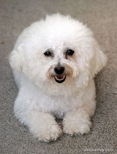 Bichon-Frise #dogs #animal #bichon #frise