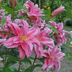 Lilium 'Roselily Felicia' - eine Lilie, die sich bestens für den Garten oder als Topfpflanze auf Balkon und Terrasse eignet. Gepflanzt wird sie im Winter als Blumenzwiebel. Online erhältlich bei www.fluwel.de