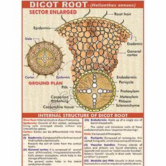 Monocot vs dicot plant root cells escuela pinterest plant cell image result for dicot root diagram with colour ccuart Gallery