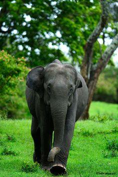 Elephant in Bandipur, India Elephant Life, Elephant Art, Elephant Design, Cute Elephant, African Bush Elephant, Asian Elephant, Ivory Trade, Elephant Sanctuary, Save The Elephants