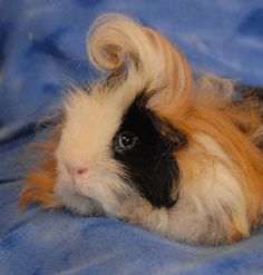 Kenickie is named for a character in the movie Grease who also sports a dramatic pompadour. Despite his flair, he is a shy youngster and getting a bit more used to being handled with each day. Kenickie is a Texel breed guinea pig, 1 year young, and he is compatible with other friendly male guinea pigs. Please ask for this sweet boy by name when you visit Nevada SPCA's (www.nevadaspca.org) Lovebugs Room. His long, curly coat needs weekly brushing.