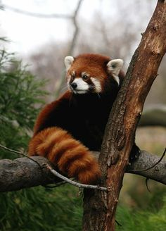 """Red Panda (Ailurus fulgens, lit. """"shining cat""""), is a small arboreal mammal native to the eastern Himalayas and southwestern China and related to raccoons, skunks and weasels."""