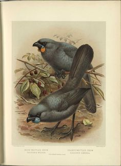 Kokako by John Keulemans for Sale - New Zealand Art Prints Vintage Bird Illustration, Botanical Illustration, Illustration Art, Illustrations, Owl Art, Bird Art, Audubon Birds, New Zealand Art, Extinct Animals