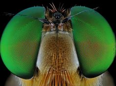 These bugs are certainly ready for their close-ups. In a series of incredible insect images, photographer Donald Jusa captures close-up photos of a. Close Up Photography, Image Photography, Animal Photography, Eye Close Up, Extreme Close Up, Insect Eyes, Macro Pictures, Horse Fly, Fotografia Macro