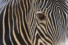 #Zebra portrait