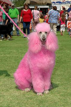 Poodle dyed pink