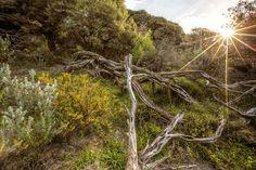 acacia pycnantha tree - Google Search