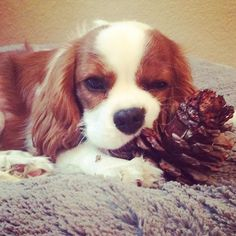 True Life: I'm addicted to pine cones. I'm a professional pine cone smuggler now, which drives my Mom crazy#charlie #pinecone #chewtoy #naughty #introuble #grounded #weekend #friday #puppy #picoftheday #cutepuppy #kingcharles #kingcharlescavalier #kingcharlesspaniel #spainel #spanielsofinstagram #cavlife #cavs #cavalierkingcharlesspaniel #cavalier #dog #cutedog #puppyoftheday #dogoftheday #picoftheday #adorable #cute
