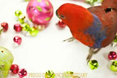 Basli, Eclectus Parrot, bird eye view