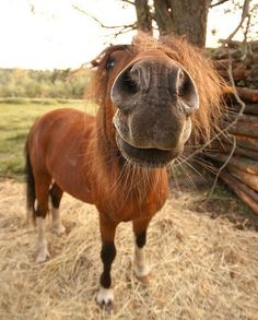 You don't like me in your face? Funny Horses, Cute Horses, Pretty Horses, Horse Love, Beautiful Horses, Animals Beautiful, Funny Animals, Cute Animals, Horse Photos