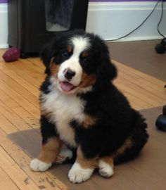 Bernese Mountain Dog - 9 weeks old and oh so sweet.