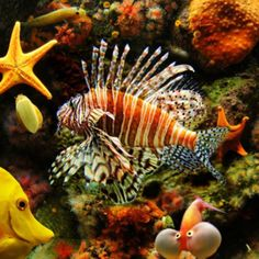 I know this as the zebra turkey fish