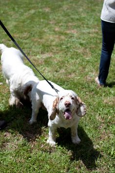 Via Annie Selke's Fresh American blog. Photos from the Northeast Clumber Spaniel picnic in Stockbridge, Mass. :)