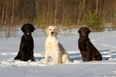 Black, Yellow, and Chocolate Labrador Retrievers