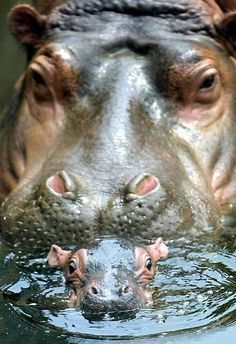 baby hippo | Very cute picture of a newborn baby hippo!