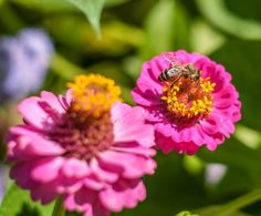 Bee by Dominique Toussaint on Insects, Bee, Nature, Animals, Honey Bees, Naturaleza, Animales, Animaux, Bees