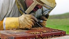 Scientists discover what's killing the bees and it's worse than you thought. interactions of multiple pesticides and fungicides is affecting bee health. How To Kill Bees, Save The Bees, Bees Knees, Bee Keeping, Thinking Of You, Thoughts, Honey Bees, Killing Bees, Study