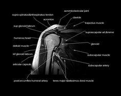 mri anatomy shoulder - Google Search