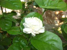 Cittaslow Botanik Park:  Çalı arap yasemin Arap Yasemin ( Jasminum sambac )