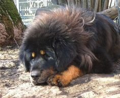 tibetan mastiff puppies #dog #mastiff #animal