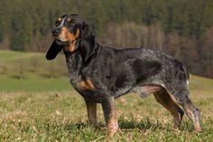 Luzerner Niederlauf  Google Image Result for http://www.berner-niederlaufhunde.de/luzerner_niederlaufhund.jpg