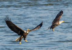 A Visitor's Guide to the Bald Eagles at Conowingo Dam | Emily Carter Mitchell ~ Nature & Wildlife Photography