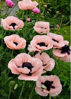 Beautiful Flowers like oriental Poppies add such a dramatic touch too the garden. this is Papaver 'Princess Victoria Louise'. My Flower, Pretty Flowers, Anemone Flower, Flower Mandala, Papaver Orientale, Princess Victoria, Princess Estelle, My Secret Garden, Garden Plants