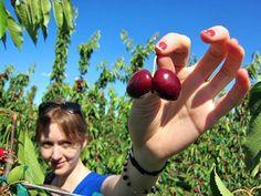 10 Ways to Preserve Cherries - frozen, dried, jam, pickled, canned, maraschino, vinegar, shrub, bounce, boozy
