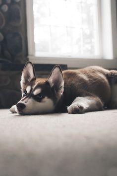 "envyavenue: "" Husky Pup | Photographer """