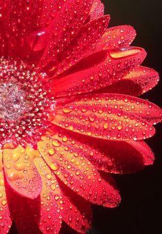 gerbera droplets..red | Flickr: Intercambio de fotos