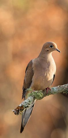 "A mourning dove sits beautiful perched on a tree branch awaiting her next flight.  ""Mourning Dove"" © Christy Cox Photography - the beauty of nature"