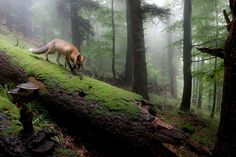 -    Fox Forest, Olympic National Park, Washington  photo via faewynn