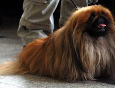 Recent DNA analysis confirms that the Pekingese breed is one of the oldest breeds of dog. Description from offroaders.com. I searched for this on bing.com/images