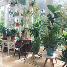 I'm always inspecting plants and removing dead foliage and flowers when I'm at my parents house my sister sometimes calls me the plant doctor ⚕️ This is my parents lovely conservatory and my absolute favorite place in the house. Definitely a #lifegoal of mine to own a conservatory in my lifetime here on this planet