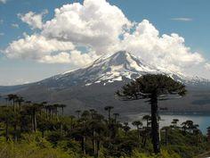 L'araucaria du ChiliEmblème du Chili, dont il est l'arbre national, l'araucaria est un conifère que l'on trouve naturellement en altitude, dans la région de la cordillère des Andes. Son tronc, long et fin, est coiffé de branches épineuses qui se déploient à plusieurs dizaines de mètres du sol. L'araucaria supporte des variations de températures très importantes, entre les hivers andins froids et des étés souvent chauds. Les populations locales récoltent et consomment notamment les pignons…