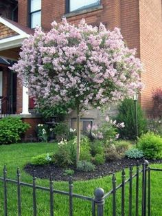 Dwarf Lilac Tree block out neighbors so want one in my backyard. Love there smell Dwarf Lilac Tree block out ne Trees For Front Yard, Small Front Yard Landscaping, Landscaping Trees, Front Yard Design, Fence Design, Outdoor Landscaping, California Front Yard Landscaping Ideas, Small Front Yards, Luxury Landscaping