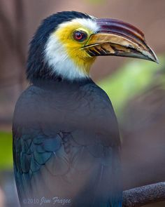 The Sulawesi hornbill (Penelopides exarhatus), also known as the Sulawesi tarictic hornbill, Temminck's hornbill or Sulawesi dwarf hornbill, is a relatively small, approximately 45 cm (18 in) long, black hornbill. The male has a yellow face and throat, and yellowish horn bill with black markings. The female has all-black plumage and a darker bill.