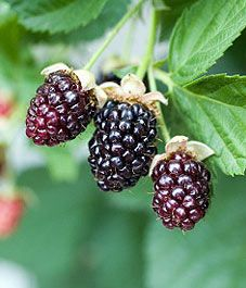 Create a berry patch in your garden