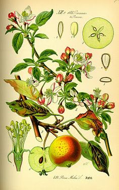 apple botanical, red and green, easy to copy & frame