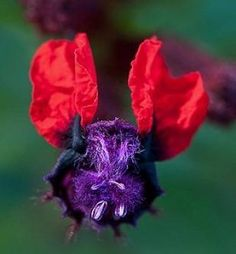 The Bat Faced flower is named so because of its flowers resemblance to a bat face! They are frost tender plants and bloom from summer to fall. Unusual Flowers, Unusual Plants, Amazing Flowers, Exotic Plants, Prettiest Flowers, Bat Flower, Gothic Garden, Fast Growing Plants, Orange Flowers