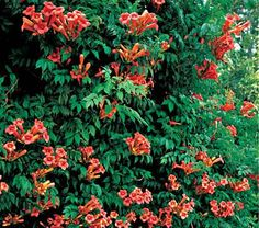 This hybrid offers the large, deep apricot flowers of the Japanese species (C. grandiflora) and gets its hardiness from the American native. Widely grown in European gardens, it deserves to be better known on this side of the Atlantic.  Trumpet Creepers produce showy, trumpet-shaped flowers, which open from July to September and attract hummingbirds. The large leaves are compound, divided into many shiny, toothed leaflets. Vines grow very rapidly, fixing themselves to wood, stone, bark, or…
