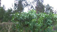 LA PODA DE LOS ARBOLES CITRICOS 2014 Indoor Plants, Scouting, Garden Ideas, Tips, Youtube, Gardens, Witches, Vegetable Gardening, Log Houses